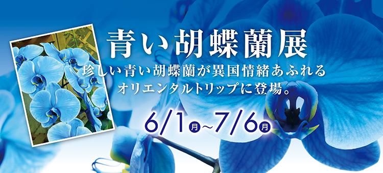 blue_halaenopsis_orchid